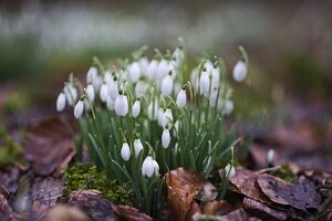 Snowdrops in woodland at Great Walsingham Norfolk February