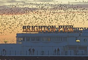 Starlings Sturnus vulgarus arriving at Brighton's Palace Pier to roost Sussex January