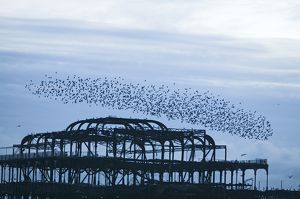 starlings sturnus vulgarus arriving to roost