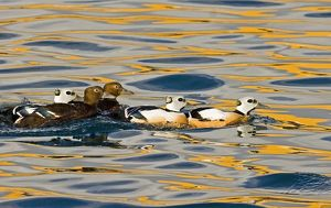 Steller's Eiders Norway