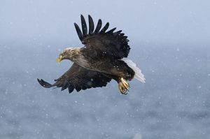 White-tailed Eagle (Sea Eagle) Haliaeetus albicilla Norway