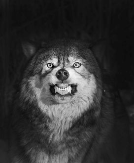 Wolf Canis lupus snarling Minnesota N America winter